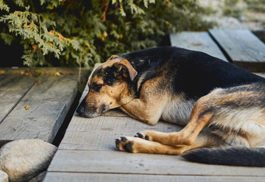 dog resting on wooden patio